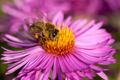 Honeybee on pink flower Royalty Free Stock Images