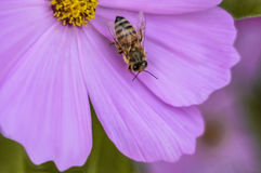 Honeybee on Pink Flower 1 Stock Image
