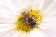 Honeybee and pink flower. Head on a white background royalty free stock images