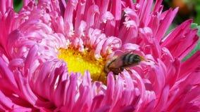 Honeybee on pink michaelmas daisy or aster