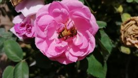Honeybee  and Pink rose closeup in sunny day stock footage