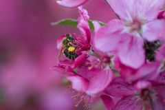 Honeybee on pink Royalty Free Stock Photo