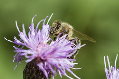 Honeybee on pink thistle Royalty Free Stock Photo