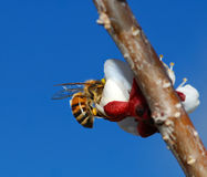 HoneyBee in plum flower. A view of a honeybee pollinating a plum flower in a Chinese plum tree, while sipping its nectar Royalty Free Stock Images