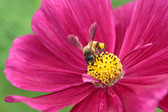 Honeybee pollinated of red flower Royalty Free Stock Photos