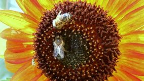Honeybee pollinated of sunflower stock video