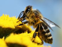 Honeybee pollinated of yellow flower Royalty Free Stock Images