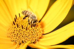 Honey bee pollinates a yellow flower. Closeup. Pollinations of concept royalty free stock photos