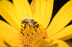 Honey bee pollinates a yellow flower of heliopsis. Closeup. Pollinations of concept stock photo