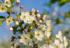 Honeybee pollinating cherry Royalty Free Stock Photo