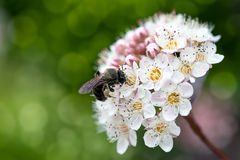 Honeybee Pollinating Flower Macro Royalty Free Stock Image