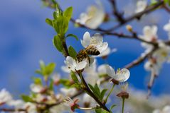 Honeybee pollinating flowers Royalty Free Stock Images