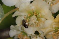 Honeybee pollinating in kiwifruit orchard. European honeybee Apis mellifera in a female kiwifruit flower Actinidia chinensis Stock Photography