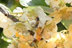 Honeybee pollinating in kiwifruit orchard. European honeybee Apis mellifera in a male kiwifruit flower Actinidia chinensis Royalty Free Stock Images