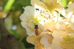 Honeybee pollinating in kiwifruit orchard. European honeybee, Apis mellifera, in a female kiwifruit flower Actinidia chinensis Royalty Free Stock Photography