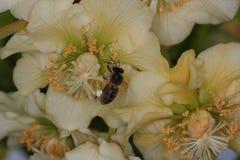Honeybee pollinating in kiwifruit orchard. European honeybee, Apis mellifera, in a female kiwifruit flower Actinidia chinensis Stock Images