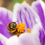 Honeybee pollinating a purple crocus flower. In spring Royalty Free Stock Photo