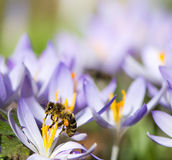 Honeybee pollinating a purple crocus flower. In spring Royalty Free Stock Photos