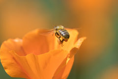 Honeybee and Poppy Royalty Free Stock Images