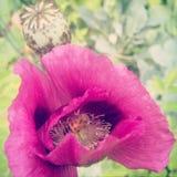 Honeybee and Poppy Stock Image