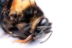 Honeybee Portrait. Portrait Shot of A Honeybee (Genus: Apis) Isolated Royalty Free Stock Photos