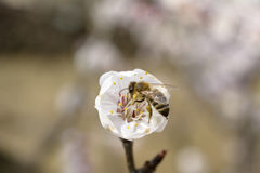 Honeybee problem Royalty Free Stock Photo