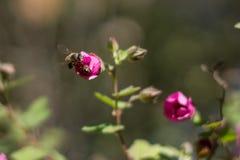 Honeybee with purple flowers. Outdoors royalty free stock image