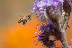 Honeybee and  Purple Tansy Flower Stock Photo