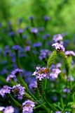 Honeybee and Purple verbena peruviana. Honeybee is busily working on the purple color flowers of verbena peruviana are in full bloom at a meadow in San Diego royalty free stock photo