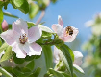 Honeybee on quince flower Stock Images