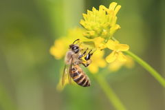 Honeybee on rape blossoms Royalty Free Stock Photos