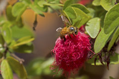 Honeybee on Red Powderpuff Stock Images