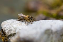 Honeybee resting on stone. Macro of insect Royalty Free Stock Image