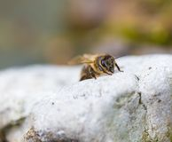 Honeybee resting on stone. Macro of insect Royalty Free Stock Photography