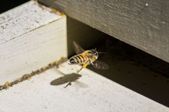 Honeybee. A honeybee returns to the colony with pollen Stock Photography