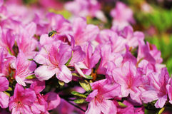 Honeybee and rhododendron Stock Images