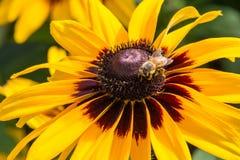 Honeybee on rudbeckia Royalty Free Stock Image