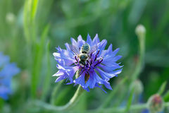 Honeybee is sitting on a blue cornflower Stock Photos