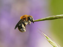 Honeybee. Sleeping bee on a flower on a colored background Royalty Free Stock Images
