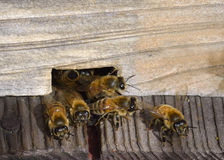 Honeybee starting work Royalty Free Stock Photos
