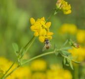 Honeybee & stopy koniczyny kwiaty Obrazy Royalty Free