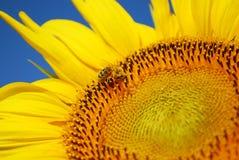 Honeybee on sunflower Royalty Free Stock Photos