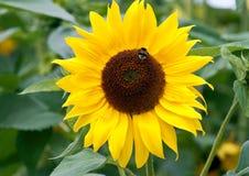 Honeybee on sunflower Royalty Free Stock Photography