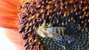 Honeybee on sunflower stock video