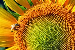 Honeybee on sunflower Stock Photography