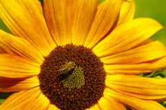 Honeybee in a sunflower Stock Images