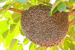Honeybee swarm hanging. Huge bee nest on a tree branch Royalty Free Stock Photography