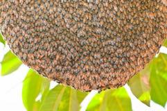 Honeybee swarm hanging. Huge bee nest on a tree branch Royalty Free Stock Photo