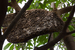 Honeybee swarm hanging Royalty Free Stock Image
