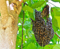 Honeybee swarm Stock Images